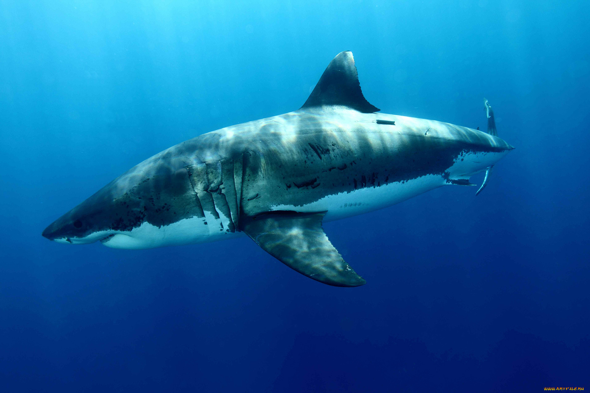 an overview of the tiger sharks in tropical waters and temperatures